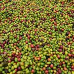 What is Arabica Coffee Beans? - Better than Robusta?