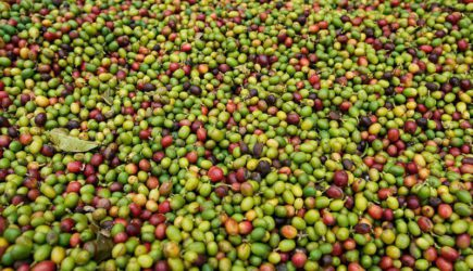What is Arabica Coffee Beans? – Better than Robusta?